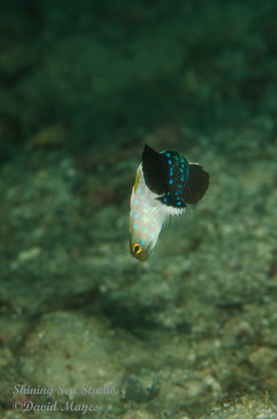 Male Bluespotted Jawfish
