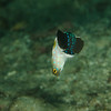Male Bluespotted Jawfish