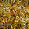 Crab and Redhead Goby