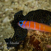 Bluebanded Goby and Flatworm