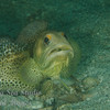 Fine Spotted Jawfish
