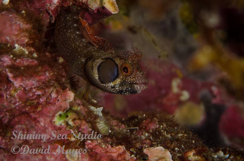 Brown Cheek Blenny