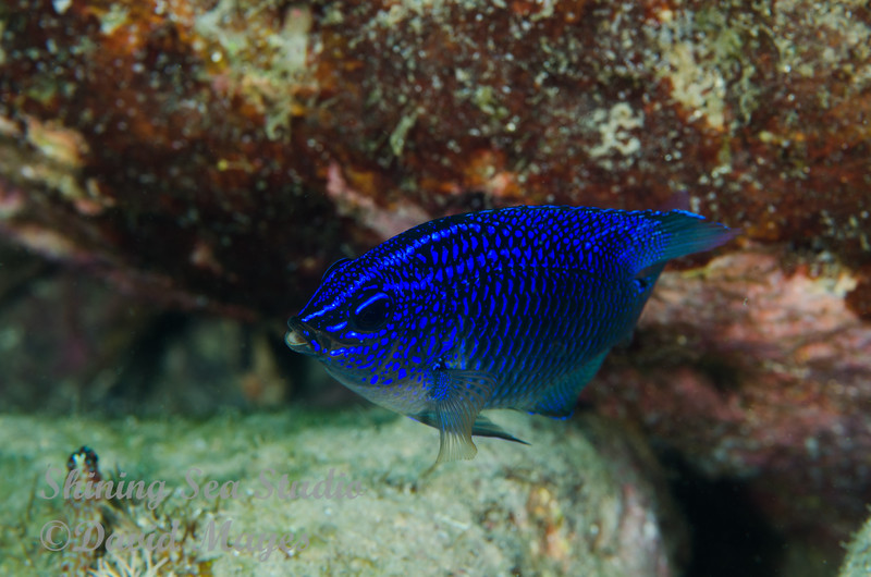 Cortez Damselfish