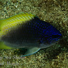 Cortex Damselfish