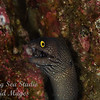 Argus Moray eel