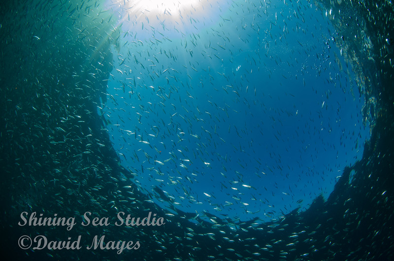 Silversides and snell window