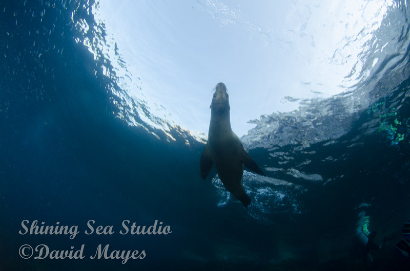 Sea Lion and Snells window