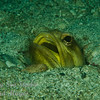 Fine Spotted Jawfish with eggs in mouth