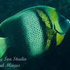 Cortez Anglefish