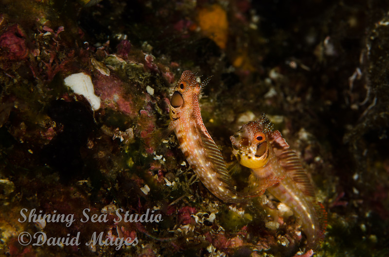 Browncheek Blenny