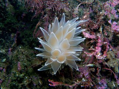 PIC_0636_ Alabaster nudibranch.