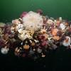 Pacific Sea Lemon Egg Mass among Plumose Anemones and tube worms