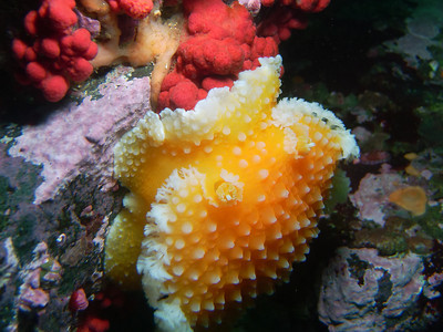 PIC_0596- Orange peel nudibranch feeding on the polyps of the pink soft coral.