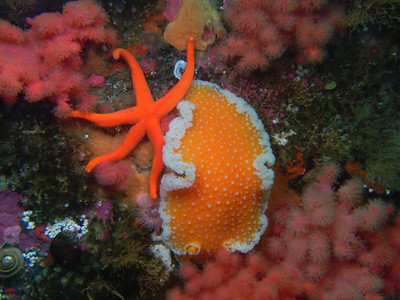 PIC_1628 - Orange peel nudibranch and blood star