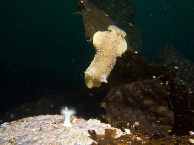 P3022864 - Monterey Dorid stretching to move down kelp.