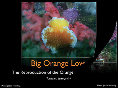 """Big Orange Love - slide show on the life and love of the orange peel nudibranch. Each slide plays for 10s. Click """"mid def"""" if loading too slowly. See blog item on this species here http://themarinedetective.com/2011/02/14/big-orange-love-the-orange-peel-nudibranch/"""