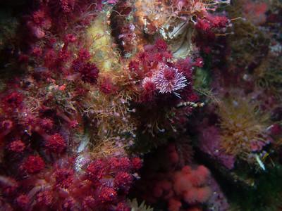 PIC_0613 - Light purple is a pomegranate aeolid (sea slug) feeding on raspberry hydroids.