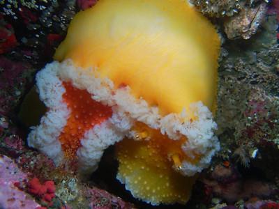 PIC_0586-Slug love, orange peel nudibranchs mating.