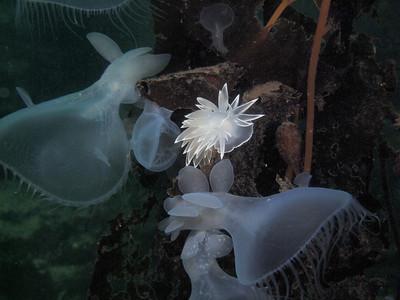 © 2012 Jackie Hildering-283790 - Alabaster nudibranch amongst hooded nudibranchs