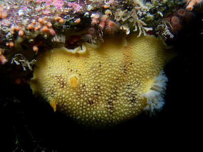 PIC_0730 - Pacific sea lemon  (Peltodoris nobilis) - 25 cm) .  More photos of the species and eggs at http://jackiehildering.smugmug.com/Underwater/sea-lemon/13534183_QD9TQ#986096337_YsizL.  Blog item on the species and mating at http://themarinedetective.com/2010/08/29/566/