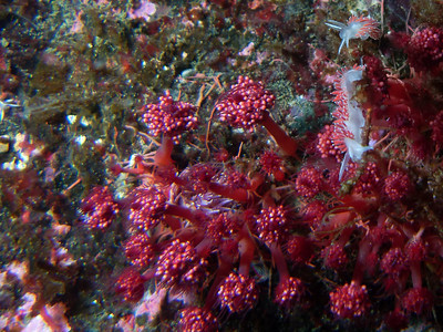 Red gilled nudibranchs feeding on raspberry hydroids  (colony of animals with stinging cells). The nudibranchs are about 8 cm long. There is also another species of nudibranch in among the hydroids - you may note the light purple colour of a pomegranate aeolid.
