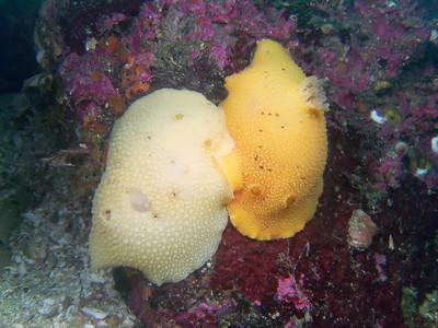 PIC_6768 - Pacific sea lemon mating (to 25 cm).
