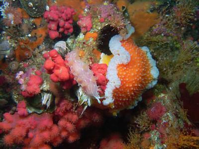 PIC_1630 - Orange peel nudibranch and diamondback nudibranch both feeding on red soft coral.