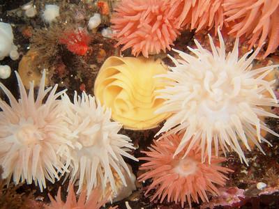 P8262725 _ Monterey dorid egg mass among crimson anemones.