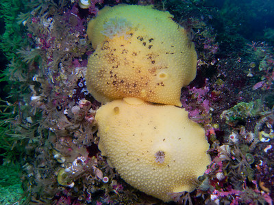 PIC_0707 - Pacific sea lemon mating (Peltodoris nobilis) - 25 cm) .  More photos of the species and eggs at http://jackiehildering.smugmug.com/Underwater/sea-lemon/13534183_QD9TQ#986096337_YsizL.  Blog item on the species and mating at http://themarinedetective.com/2010/08/29/566/