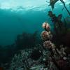 Urchins grazing on kelp