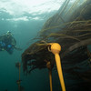 Dive buddy hovering over Bull Kelp