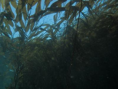 P4237056 - Giant kelp