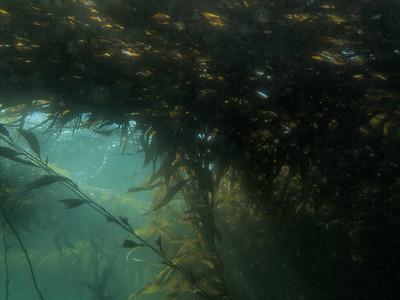 P4237065 - Giant kelp