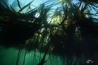 Sun streaming through Bull Kelp Forest
