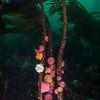 Brooding Anemones on the stipes of Split Kelp