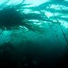 Juvenile rockfish in Bull Kelp forest