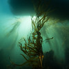Bull Kelp forest with dive boat above