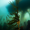 Bull Kelp forest dive boat above