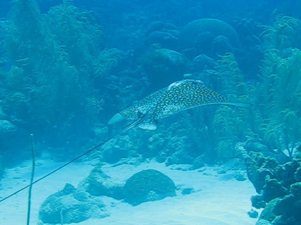Eagle Ray gliding over Curacao corals