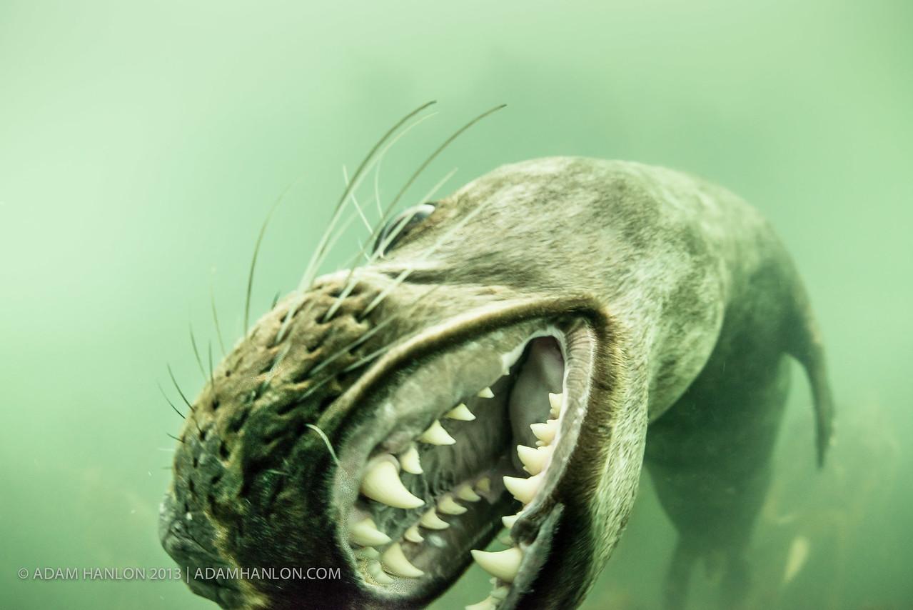 Playful seal