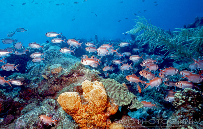 """Caribbean Shallow Reef""  Blackbar soldierfish glide in and around this shallow reef system"