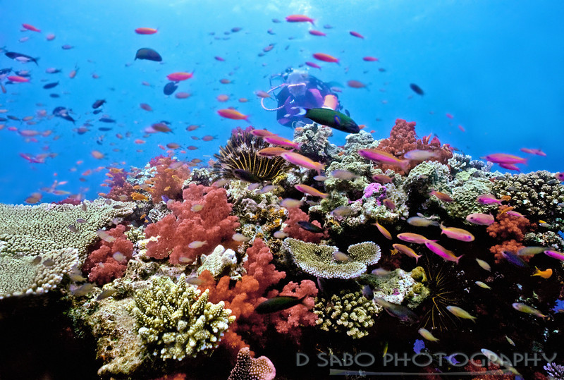"""Shallow South Pacific Coral Reef""  A woman scuba diver on Astrolabe Reef in Fiji. The Great Astrolabe Reef is the world's fourth largest barrier reef and is Fiji's largest living organism."