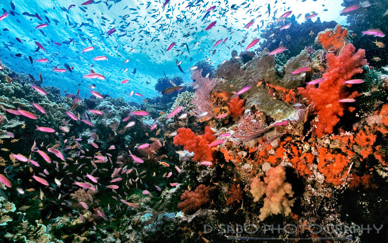 """Soft Coral Capital""  Beqa Lagoon, Fiji is often referred to as the soft coral capital of the Fijian Islands"