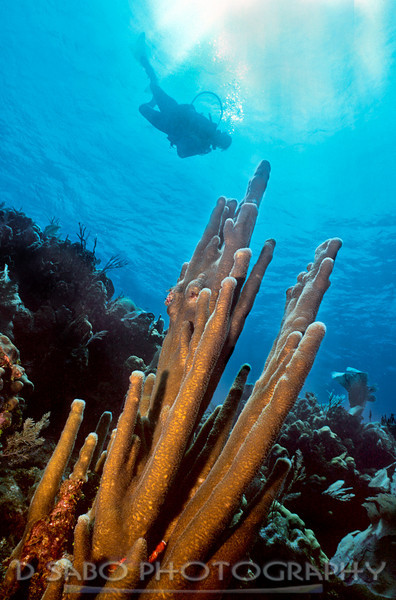 """Pillar Coral""  Diver glides by a majestic stand of pillar coral, Utila, Bay Islands, Honduras"