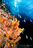 """SVG Deepwater Wall""  A school of brown chromis descend down a deepwater reef wall showcasing a healthy display of orange tube sponges. St. Vincent and the Grenadines, Windward Isles,Caribbean"