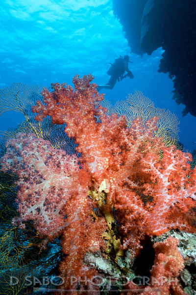 """Joe's Jewel""  Perfect illustration of Fiji's beautiful soft corals (Dendronepthya sp.) here at Joe's Jewel dive site, Kadavu, Fiji Islands"