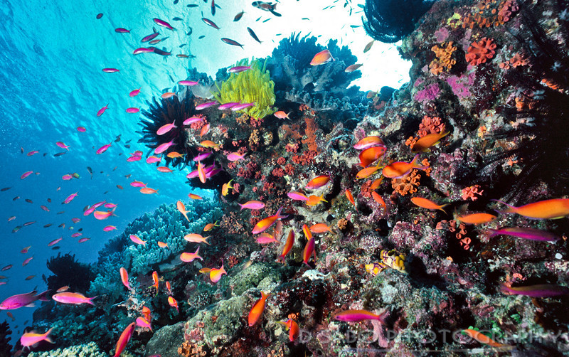"""""""Grand Central Station""""  This Solomon Island dive site is named """"Grand Central Station""""  and rightfully so due to the buzz and activity of the reef fish like these anthias that make this shallow reef home. Gizo, Solomon Islands"""