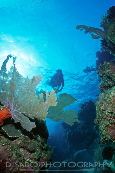 """Roatan discoveries""   Diver explores the ""Spur and Groove"" system of a Roatan, Bay Islands, Honduras dive site"