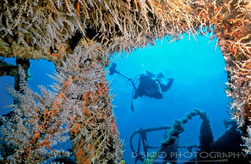 """Wreck of the River Taw""  Wreck of the River Taw, St. Kitts, Windward Isles, Caribbean, covered in flat gorgonians, Pterogorgia citrina"