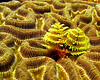 Brain Coral, Christmas Tree 383_1